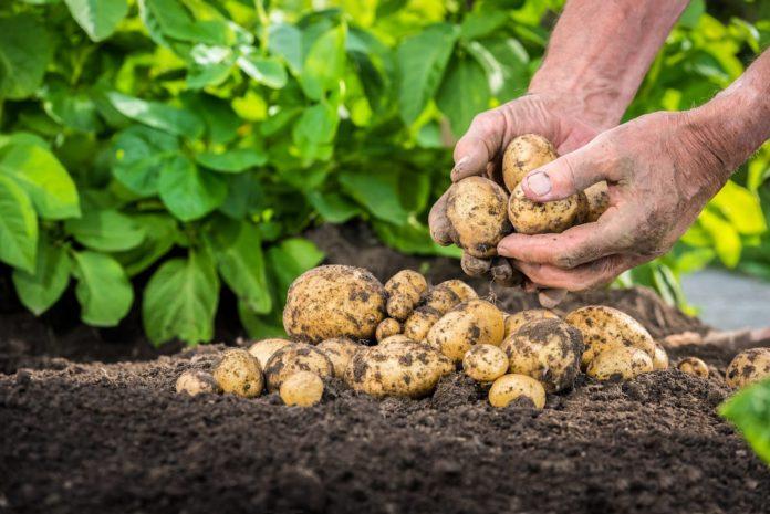 Cauti o solutie eficienta pentru culturile de cartofi